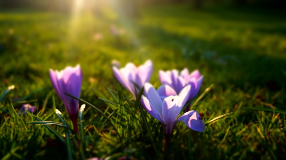 Stock photo. Spring Crocus 3