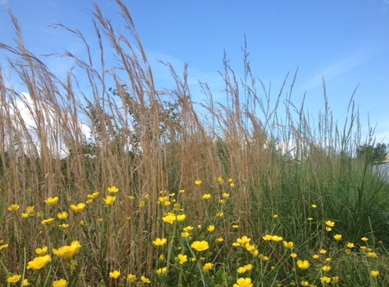 summer grasses and sky
